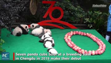 7頭の子パンダが新中国成立70周年を祝う