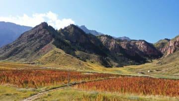 祁連山麓のキヌアが赤く色付く 甘粛省張掖市