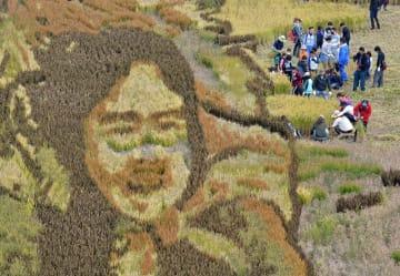 稲刈り体験ツアー参加者らにより、背景部分が刈り取られた田んぼアート「おしん」=29日午前、田舎館村役場東側水田