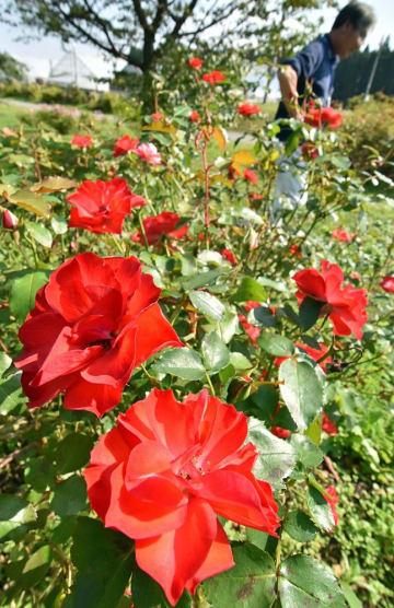 見ごろを迎えた東八甲田ローズカントリーの秋バラ。朱色が鮮やかなラセビリアーナ