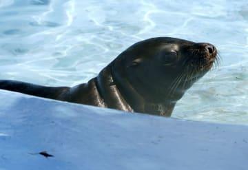 園内の下水管で発見、保護されたアシカの雌「キュッキュ」=1日午前(天王寺動物園提供)