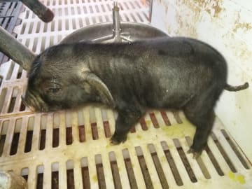 体細胞クローン豚の出産に成功 四川省