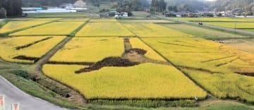 収穫期を迎えた田んぼアート