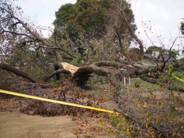 Tadashi Matsunaga 自宅隣の公園では大木が数本倒れた