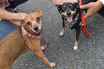 大阪のレジャー施設に捨てられていたレディーちゃん(左)とルビーちゃん。7年ぶりだね!