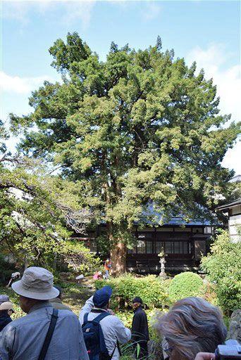 妙経寺の庭園にある県天然記念物のカヤの木