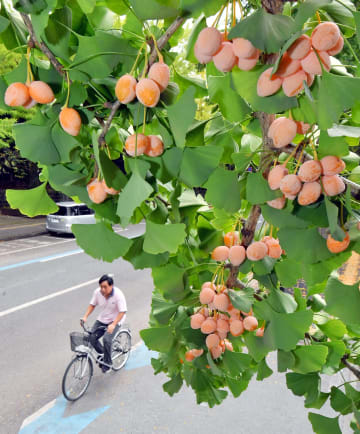 イチョウ並木で鈴なりに実ったギンナン=7日午前、宇都宮市明保野町
