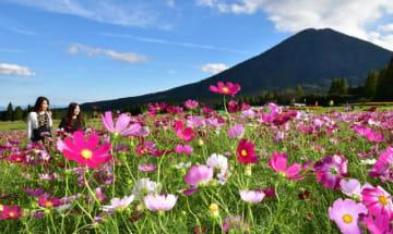 見頃を迎えた生駒高原のコスモス=8日午後、小林市