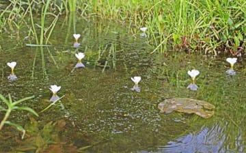 水上に白くきれいな花を咲かせたミズオオバコ(和歌山県上富田町生馬で)