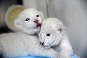 ホワイトライオンが雄雌双子を出産 山東省済南市