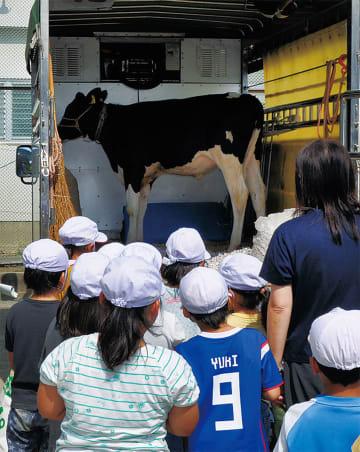 子牛と対面し興味津々の児童