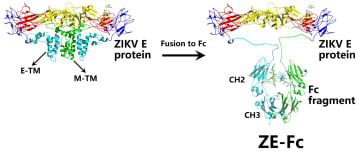 中国の研究者、ジカウイルスの免疫研究で大きな進展