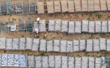 魚の天日干し作業ピーク 江西省都昌県