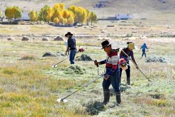牧草の刈り取りに大忙し チベット自治区ラサ