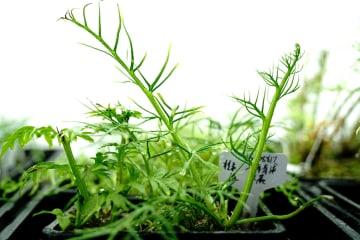 国家2級重点保護野生植物のアメリカミズワラビ発見 上海市