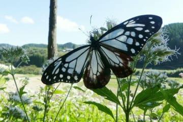 フジバカマの花の上で羽を広げるアサギマダラ=竹田市直入町長湯