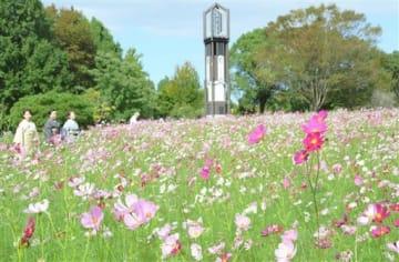熊本市動植物園の花畑で満開となったコスモス=熊本市東区