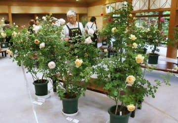 色とりどりのバラが並び、香りの違いも楽しめる「秋のばら展」=12日、新潟市中央区