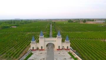 収穫期を迎えたワイン用ブドウ 甘粛省河西回廊