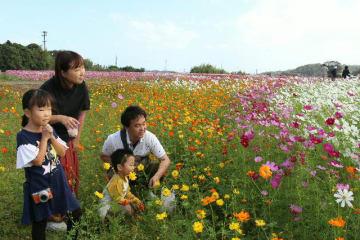 風に揺れるコスモスを観賞する家族連れ=中津市三光の「三光コスモス園」