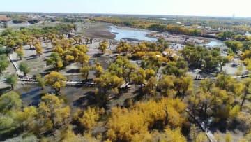 1日21万人の観光客 内モンゴル自治区のコトカケヤナギ林が空前の人気