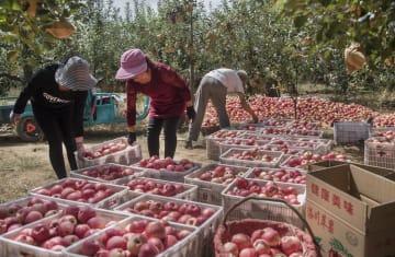 リンゴ収穫、中国は世界の5割超 栽培面積も