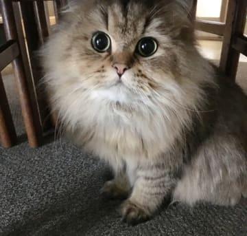 ペルシャ猫のニコちゃんは、心室中隔欠損という先天性の心臓病ですが、飼い主さんのお家に来てからその病気が発覚しました。でも、お薬を飲んで、とても元気に毎日を過ごしています