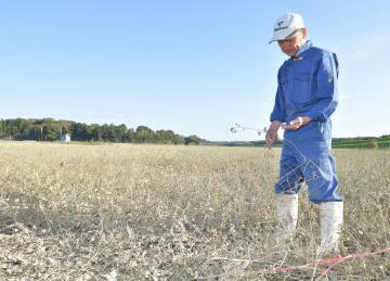 久慈川近くの畑で、ソバの実を手に取るJA常陸アグリサポートの菊池正志さん。ソバは泥水をかぶり、今年の収穫を諦めた=16日午後3時15分、常陸太田市松栄町、鹿嶋栄寿撮影