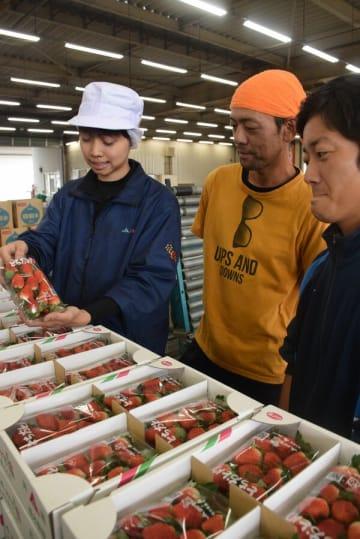 イチゴの大きさなどを確認するJAはが野職員(左)と出荷した一木さん(中央)ら