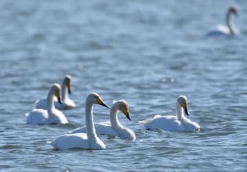 オオハクチョウが今冬初飛来 山東省・栄成大天鵝国家級自然保護区