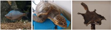 レッドリストの動物、写真左からニッポンバラタナゴ(谷本卓弥氏 提供)、アカウミガメ(姫路市立水族館 提供)、二ホンモモンガ