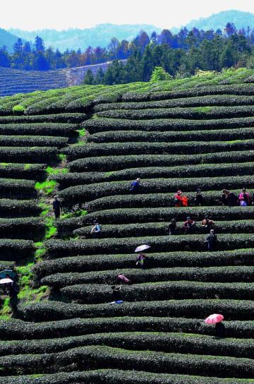 ウーロン茶を世界に輸出 福建省建甌市の茶産業が好調