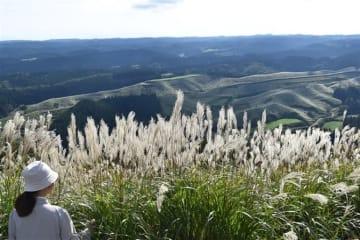 波野のススキ野輝く 阿蘇市の荻岳展望所