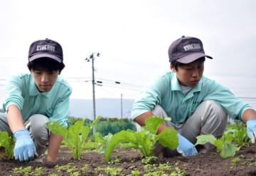 琴畑カブを育てる畑で草取りに励む生徒