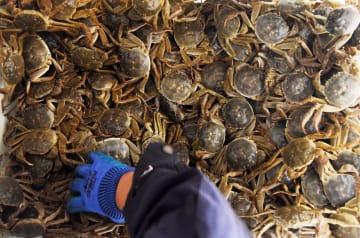 山東省黄河口産の上海ガニ、収穫ピーク