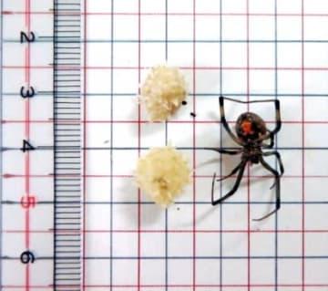 神経毒を持つハイイロゴケグモの雌と卵(鹿児島県提供)